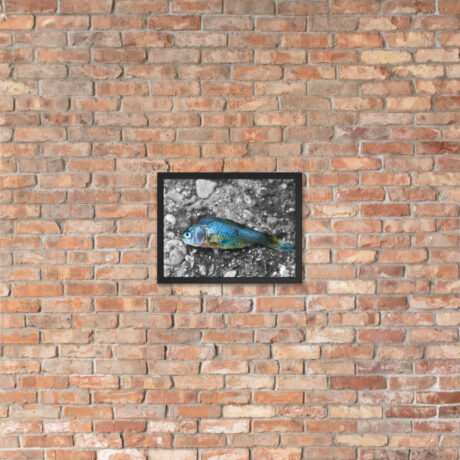 Dead Fish on Concrete – Framed poster 30x40cm brick wall