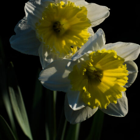 Narcissi In The Morning – High Resolution