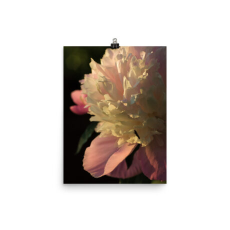 Peony In The Evening Sun – Poster