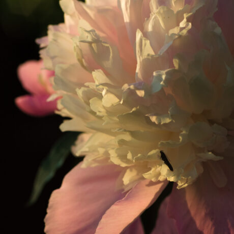 Peony In The Evening Sun – High Resolution
