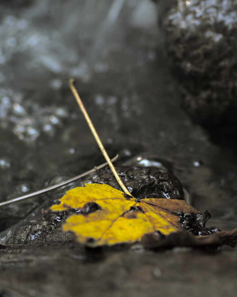 Yellow fallen maple leaf, stranded on a rock, bounded by water